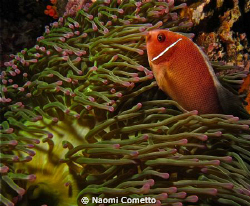 anemone fish by Naomi Cometto 